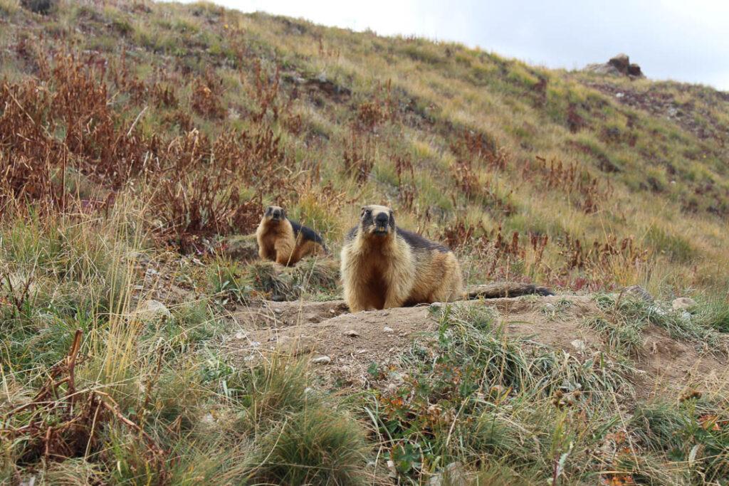 Golden Marmots in Deosai Plains